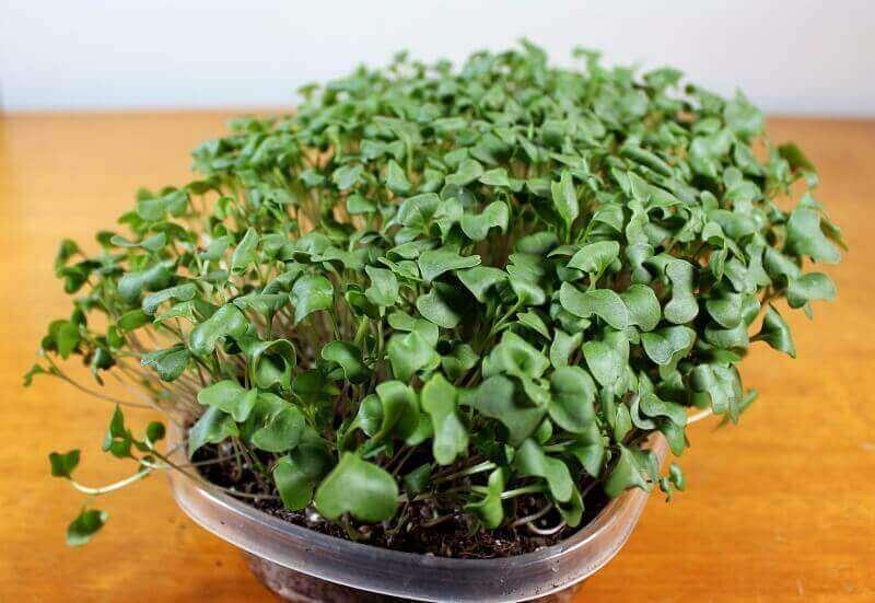 broccoli microgreens ready to harvest