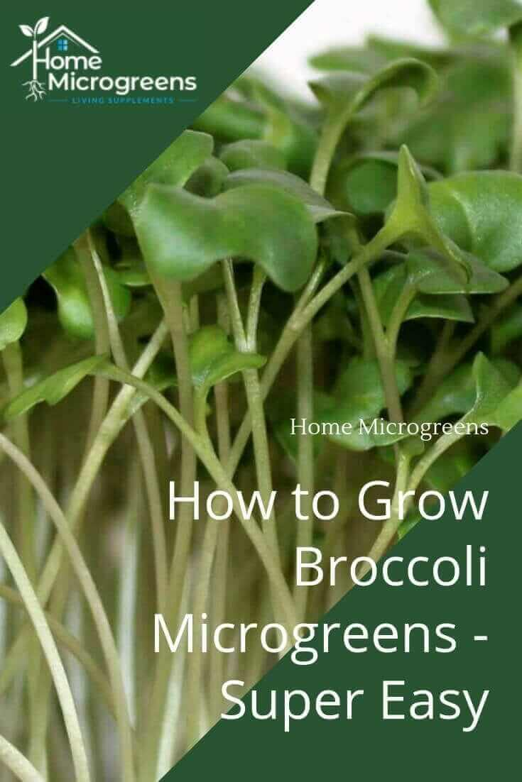 how to grow broccoli microgreens