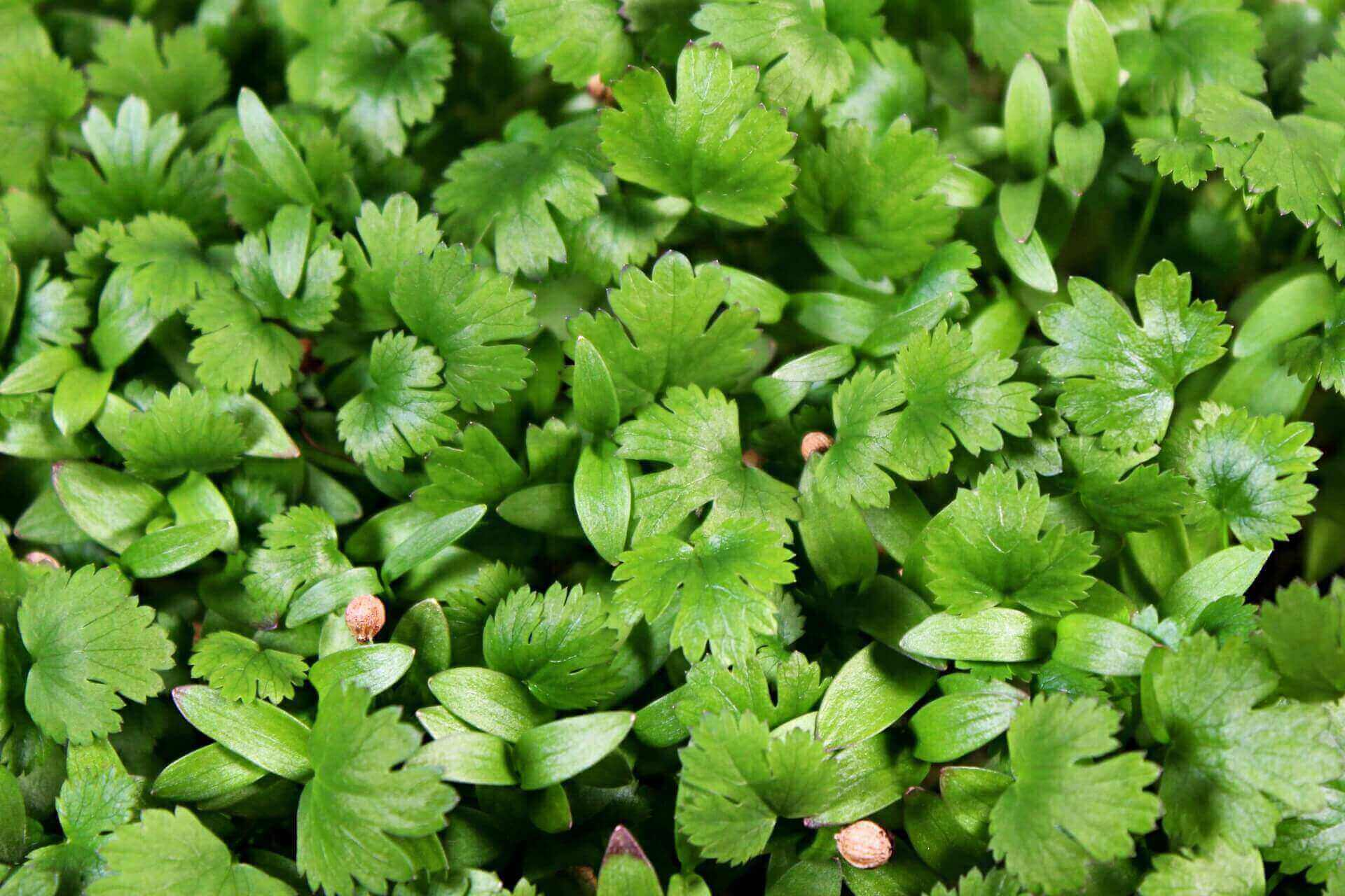 how to grow cilantro microgreens
