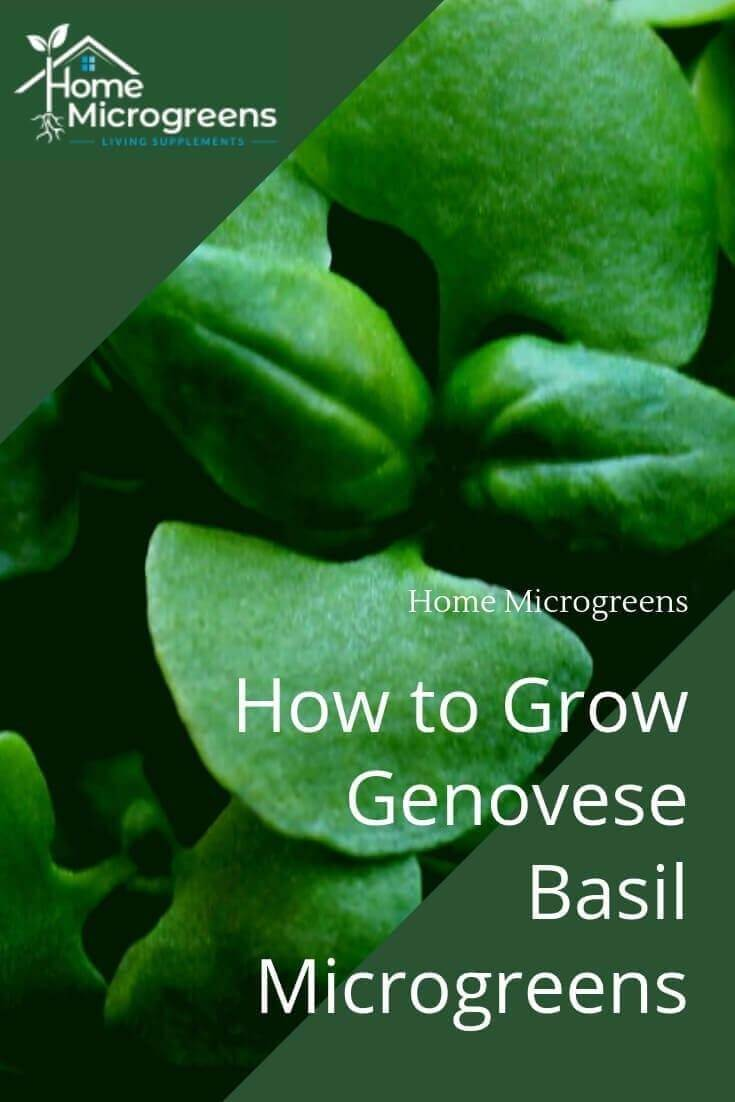 how to grow basil microgreens