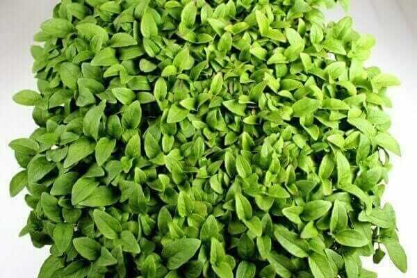 over dense microgreen tray