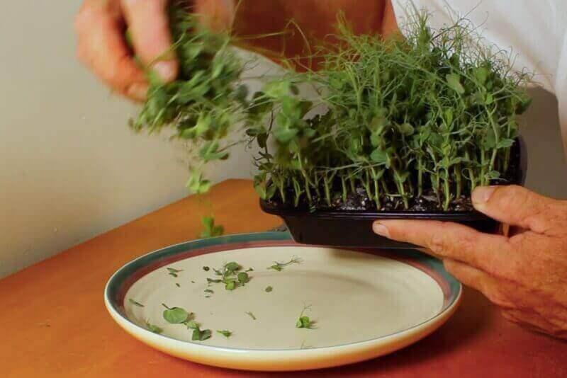 harvesting pea shoots