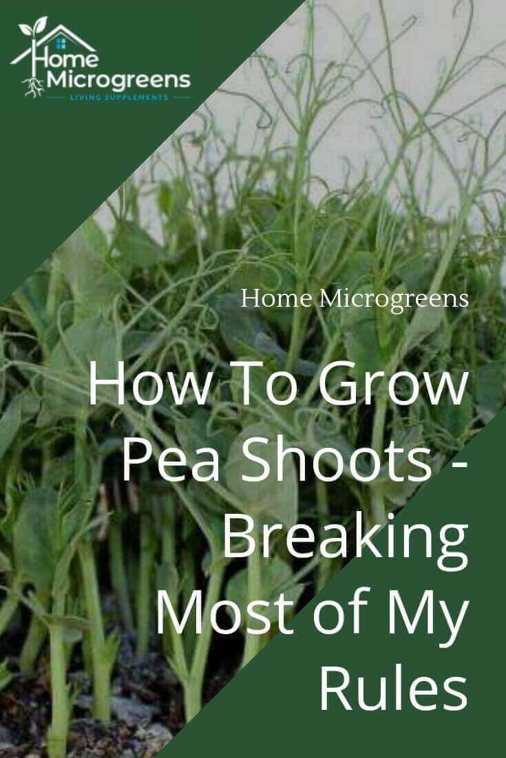 how to grow pea shoots or pea microgreens