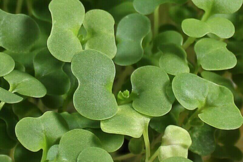 aurgula microgreens