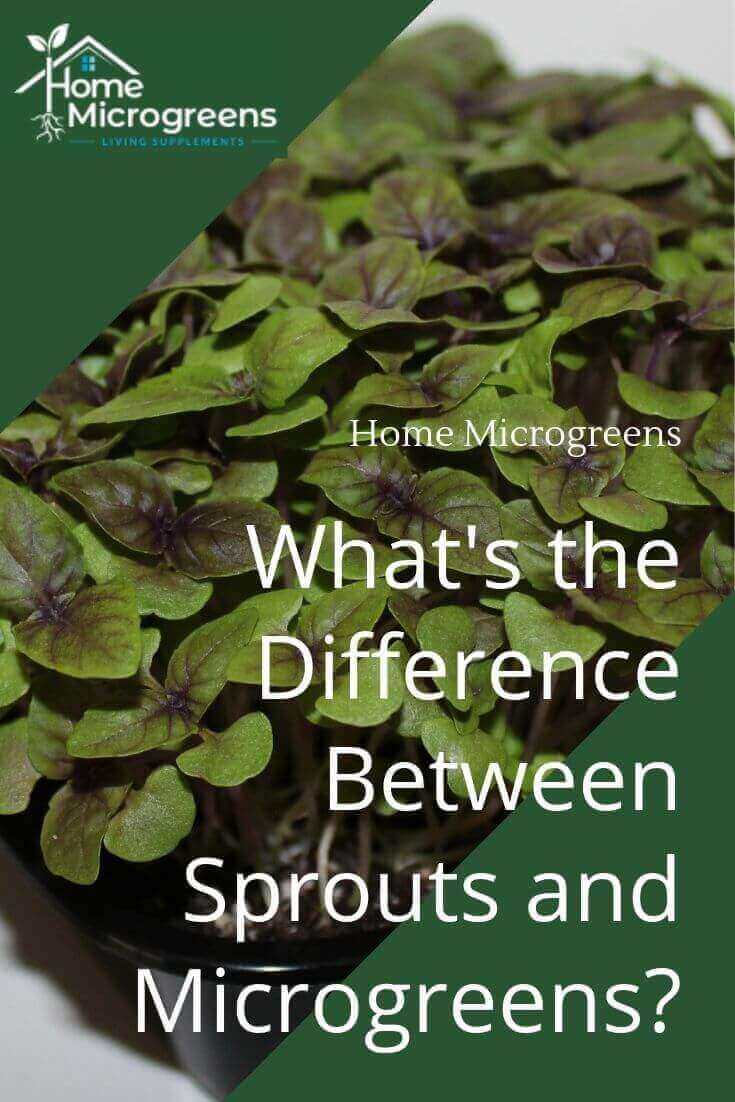 Sprouts or microgreens?
