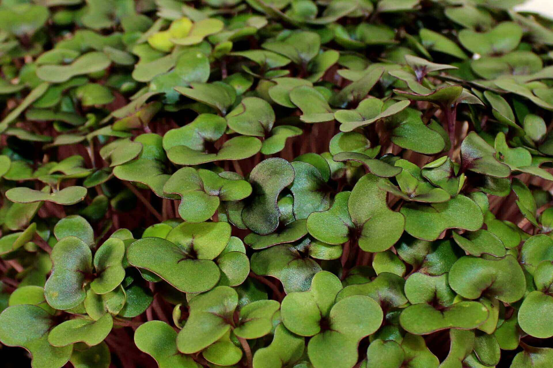 the easiest microgreens to grow