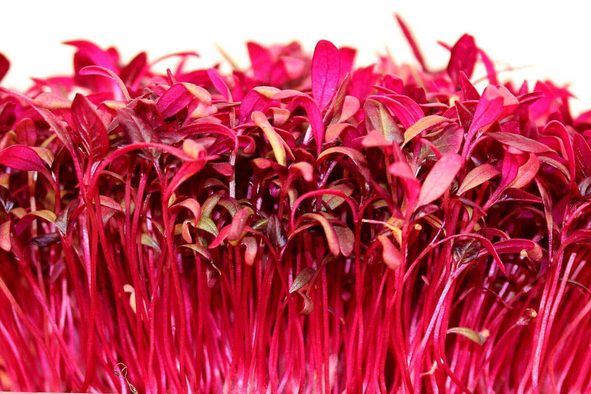 growing amaranth microgreens
