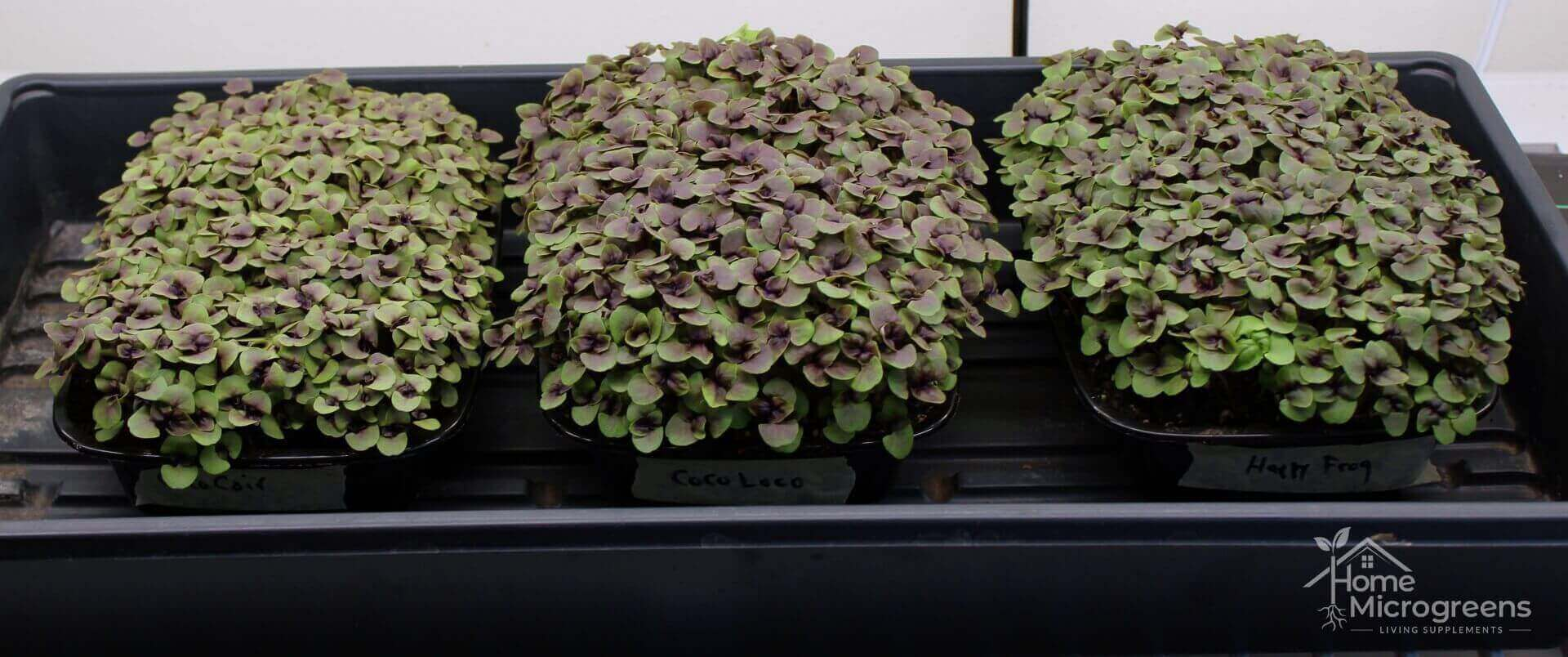 best microgreen soil for Dark Opal Basil microgreens