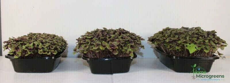 Red Rubin Basil microgreens