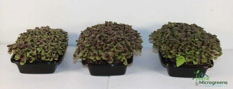 Red Rubin Basil 25 days after planting in, left to right, pure coconut coir, Coco Loco Mix, and Happy Frog Mix