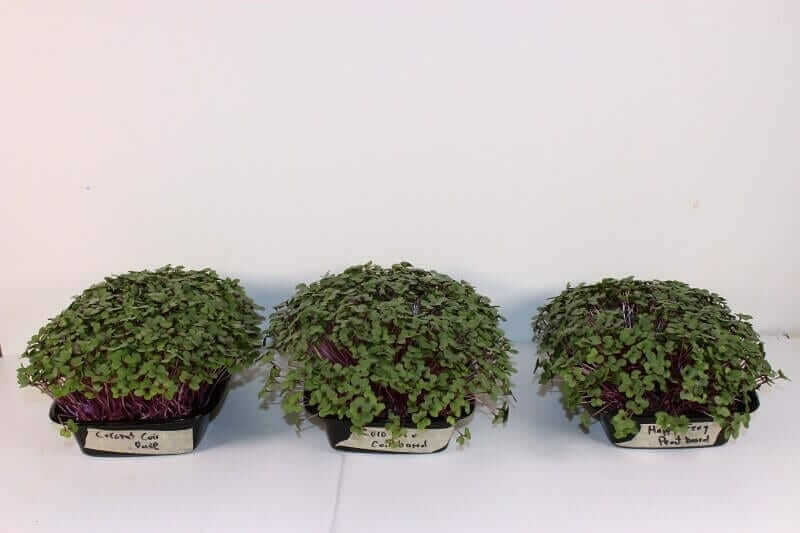 microgreens grown in three different soil mixes