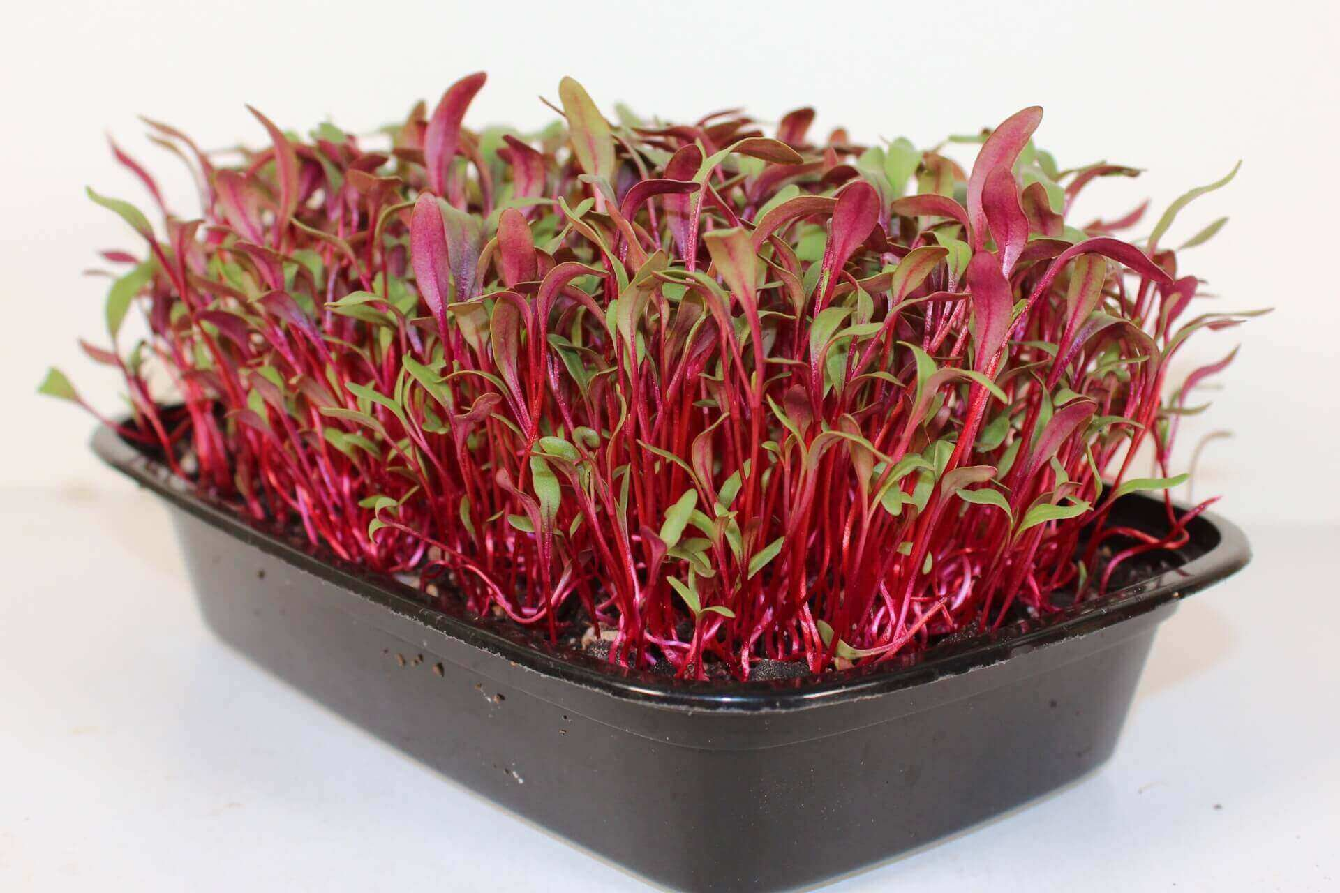 bull's blood beet microgreens