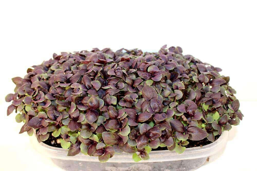 microgreen kit basil