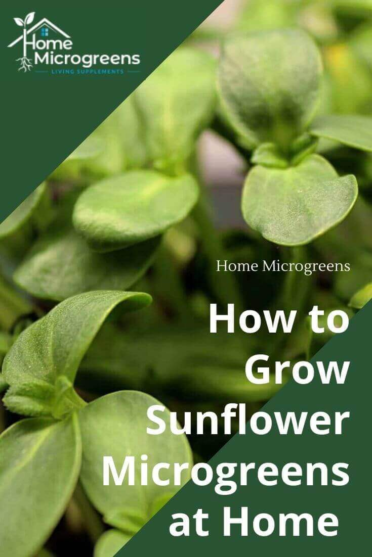 growing sunflower microgreens at home
