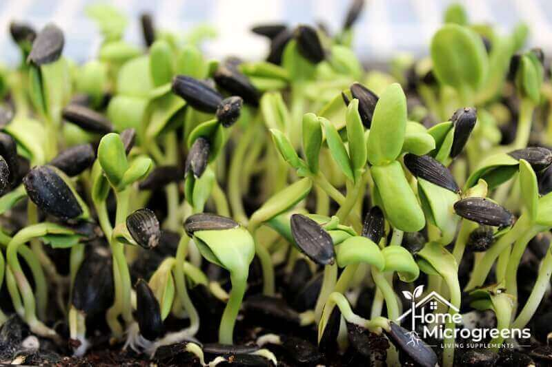 how to remove sunflower microgreen hulls