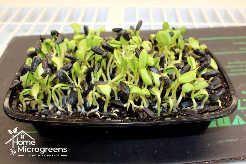 growing-sunflower-microgreens