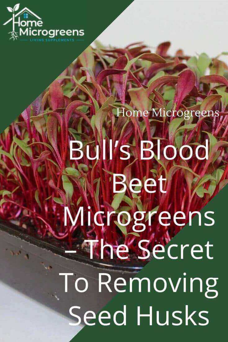 bulls blood beet pinterest