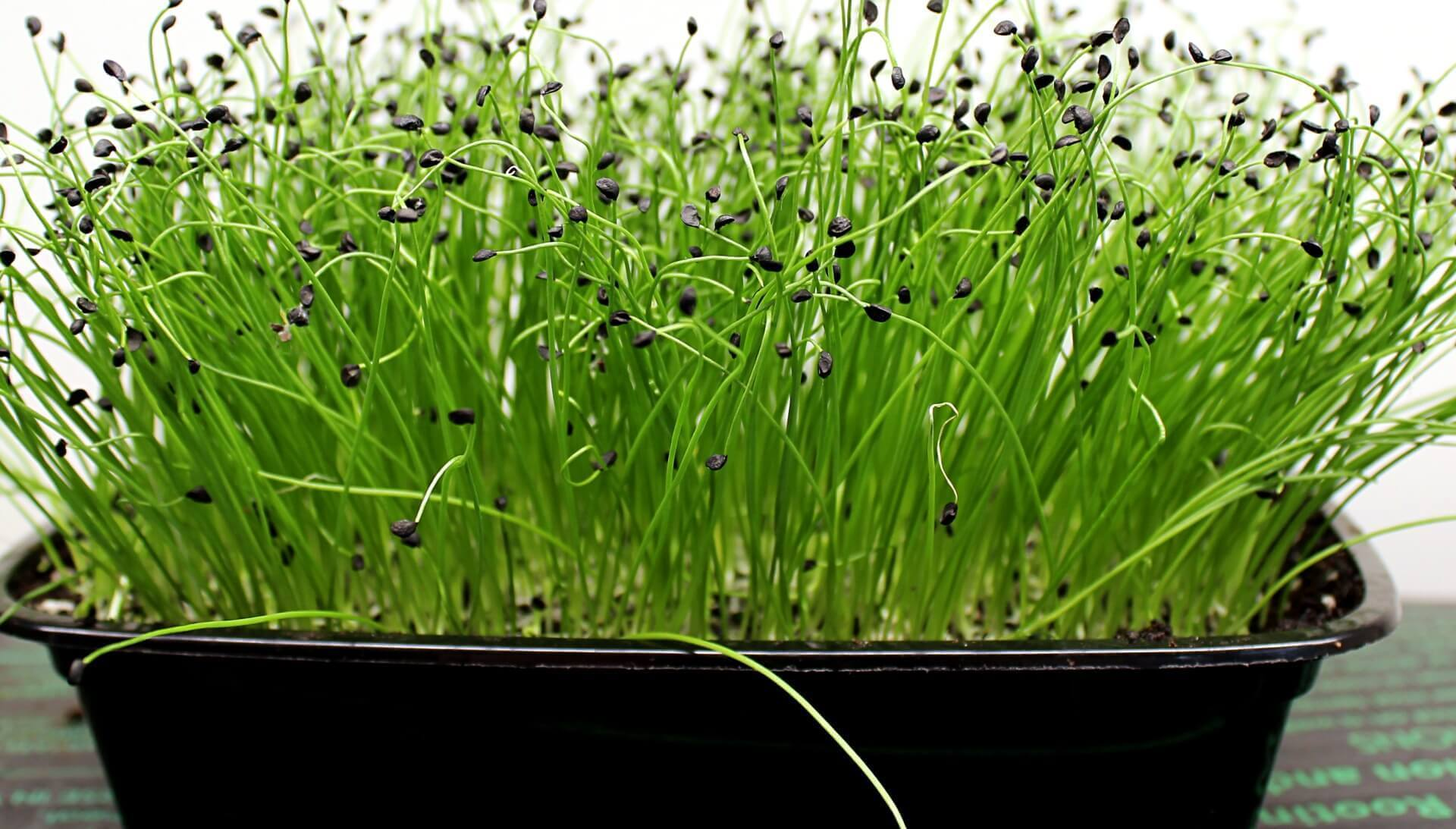 onion microgreen tray