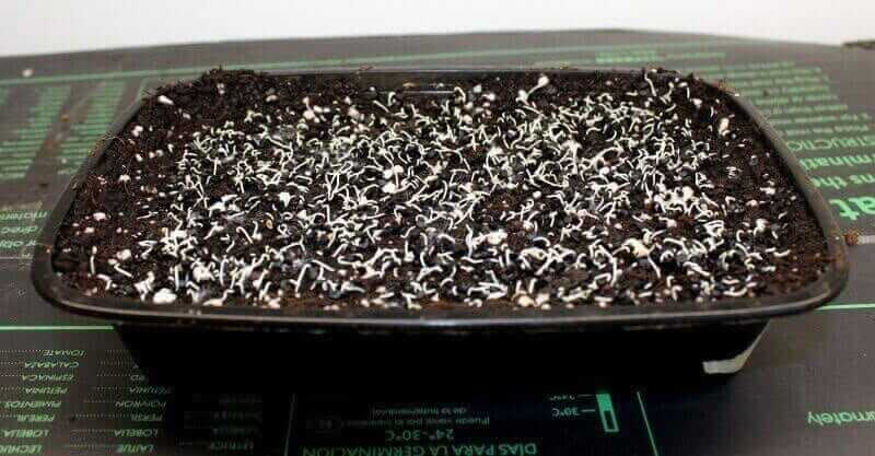 onion microgreens four days after planting