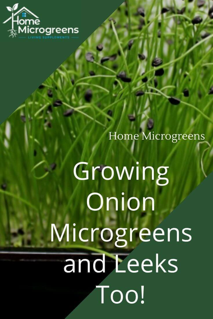 growing onion microgreens