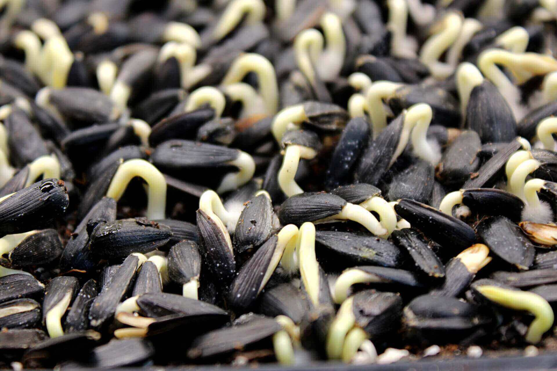 sprouting sunflower seeds