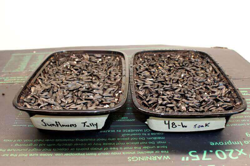 planting sunflower microgreens