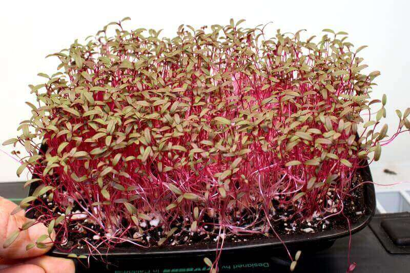 amaranth microgreens day 21