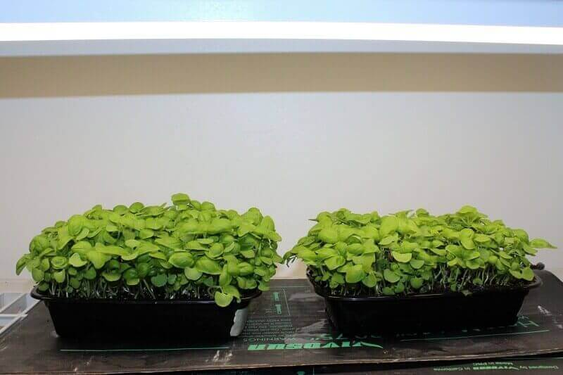 Basil grown in Home Microgreens Trays