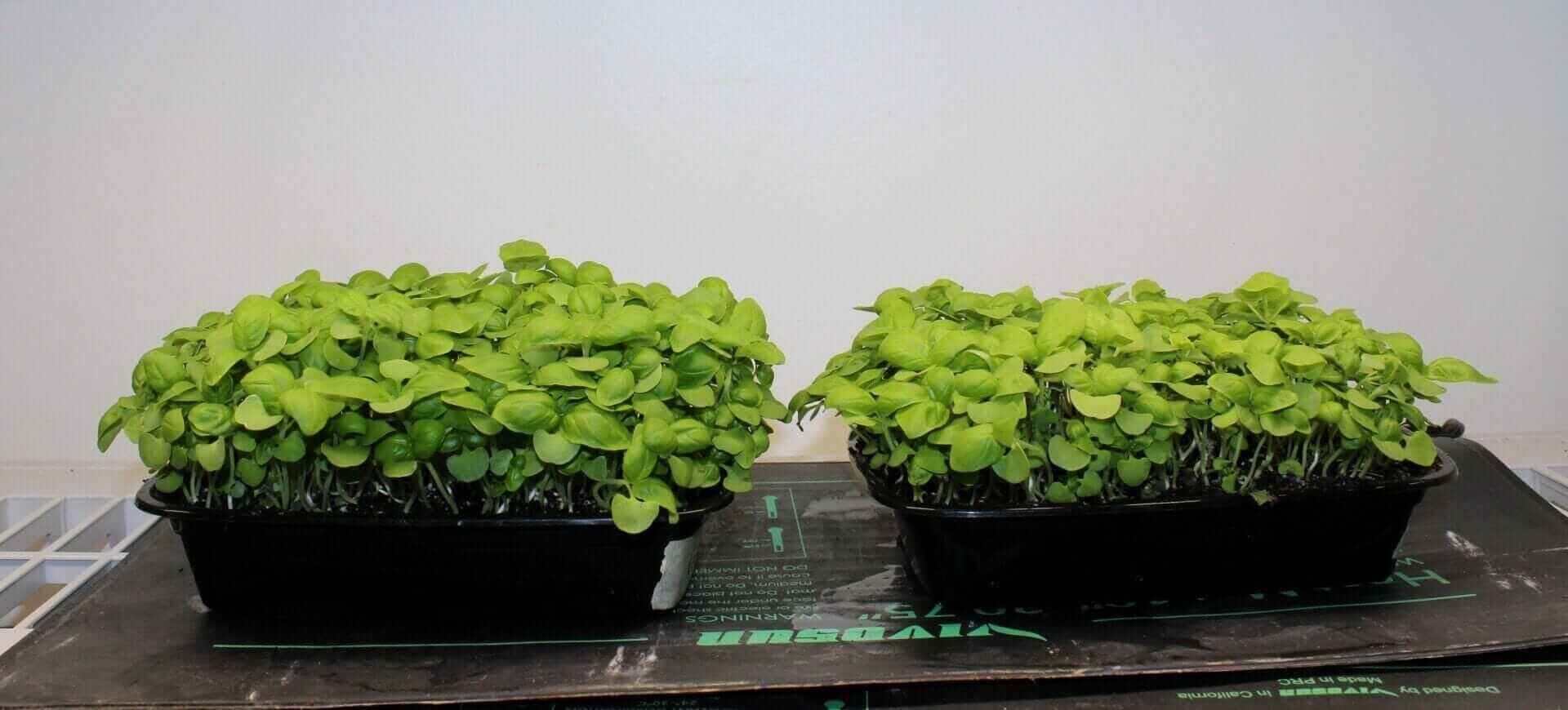Basil microgreens grown in two different soil mixes