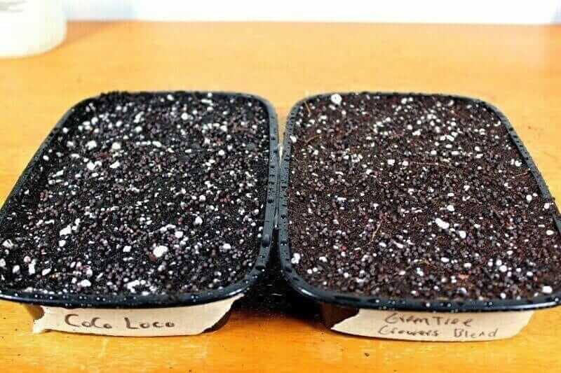 Radish microgreens sown