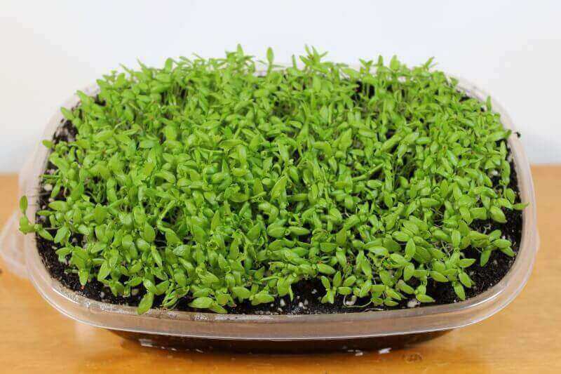 celery microgreens a month after planting.