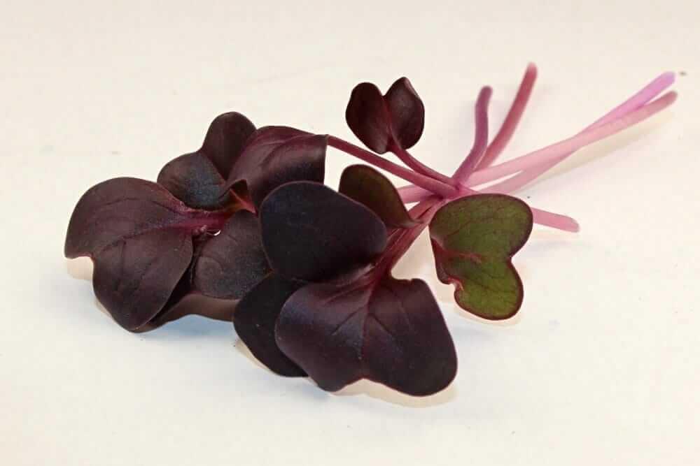 rambo radish microgreen