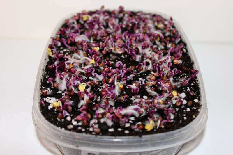 rambo-radish-microgreens-48-hours-after-planting