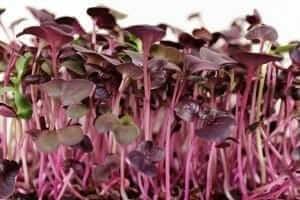 growing red rambo microgreens