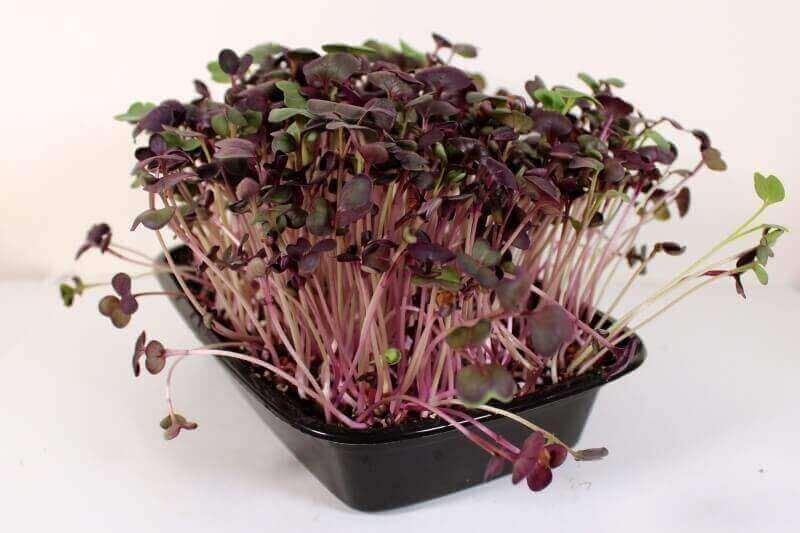 over-grown rambo radish microgreens