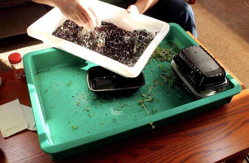 reusing microgreen soil by breaking up the root mass