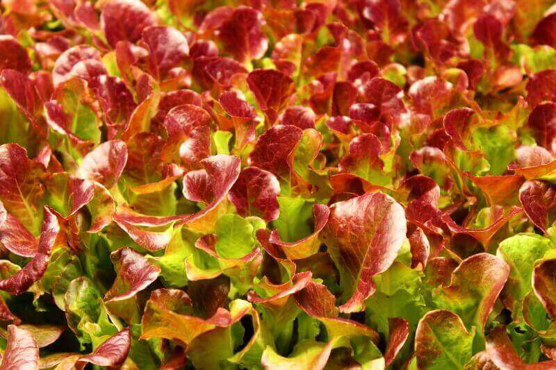 deep red color on outredgeous lettuce