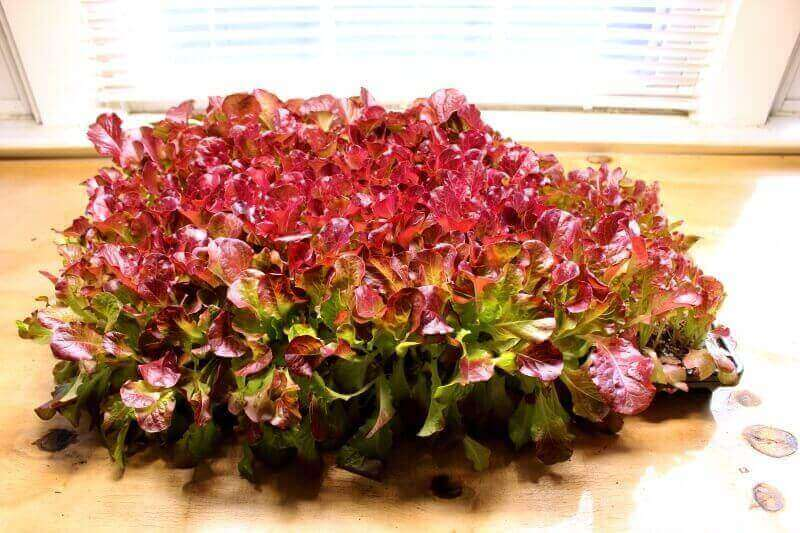 cut lettuce tray regrown
