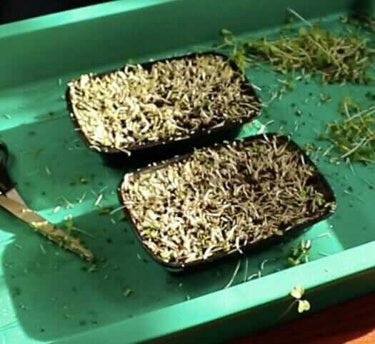 reusing microgreen soil