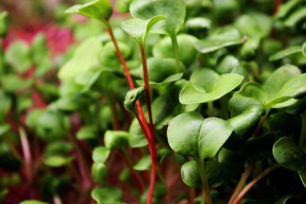 how to grow radish microgreens saisai radish