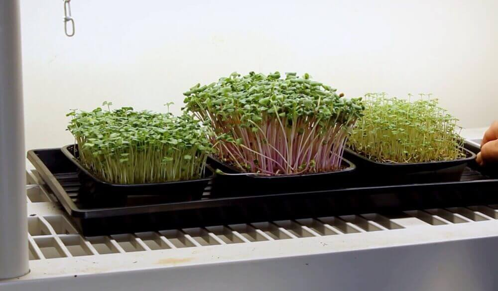 microgreens grown on reused microgreen soil
