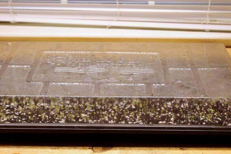 outredgeous lettuce 2-day germination