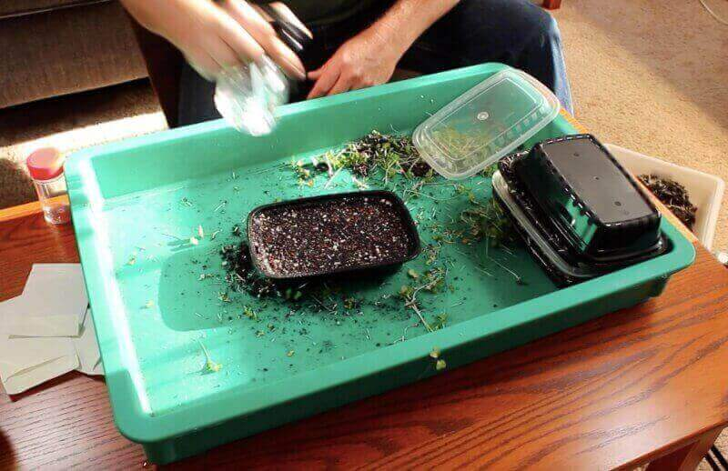 planting broccoli microgreen seeds