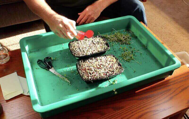 planting wasabi mustard seeds on used microgreen soil