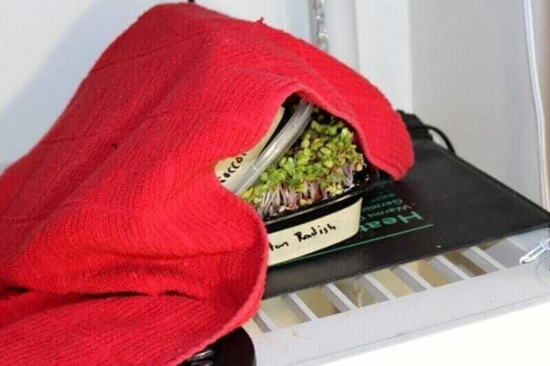 radish microgreens lifting off weight