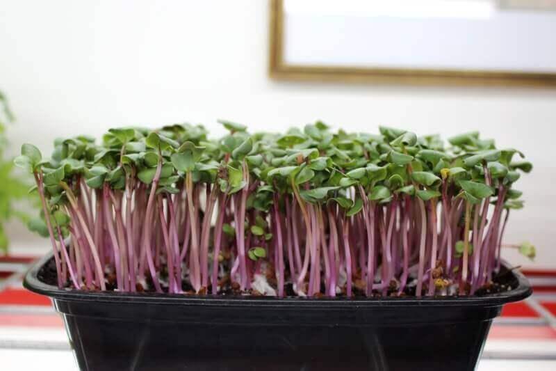 Saisai radish microgreens 4-days after planting