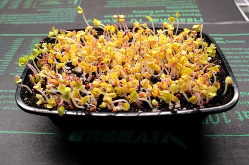 triton radish microgreens on day 3