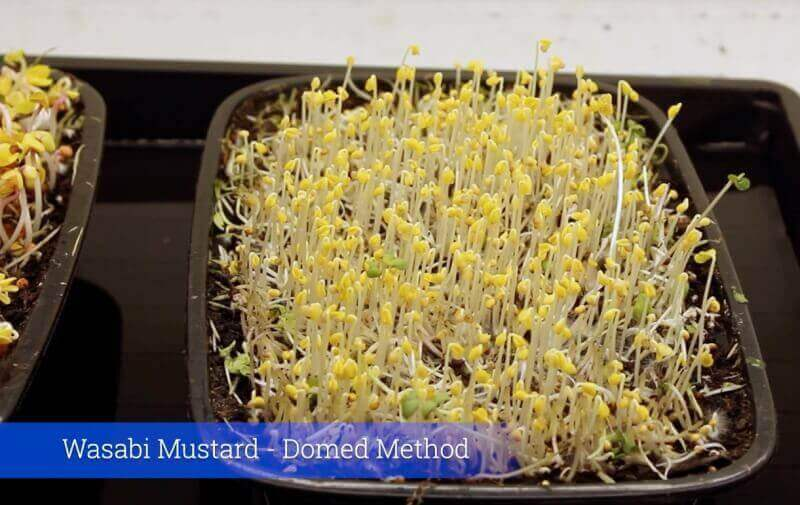 wasabi mustard microgreens grown on reused microgreen soil