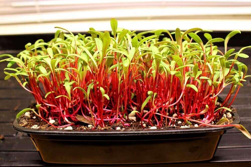 ruby red swiss chard microgreens