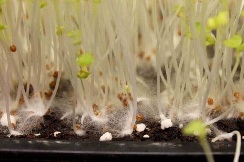 mold on microgreen stems